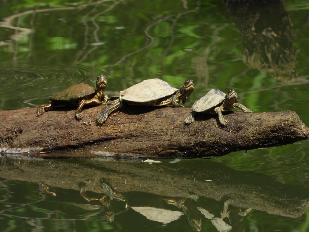 Three Alabama map turtles on a log.