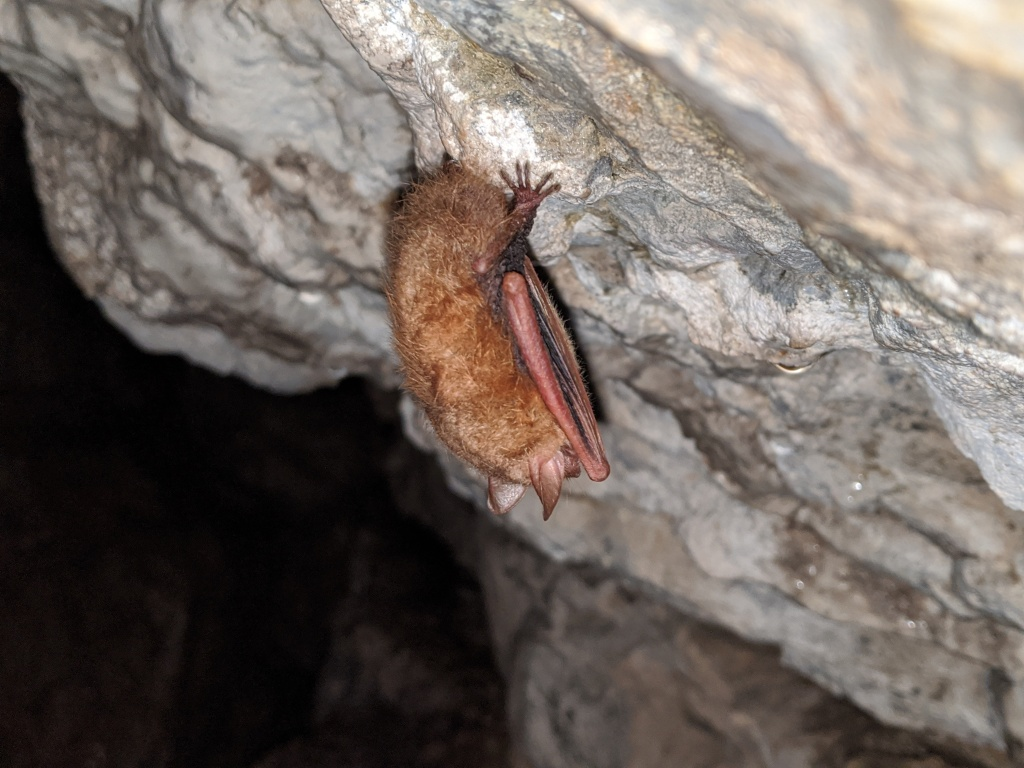 A tricolored bat inside the Ruffner Mountain iron mines.