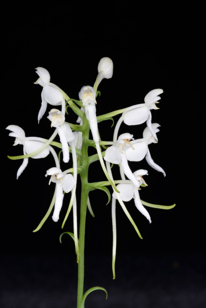 The white fringeless orchid, one of Alabama's native species.