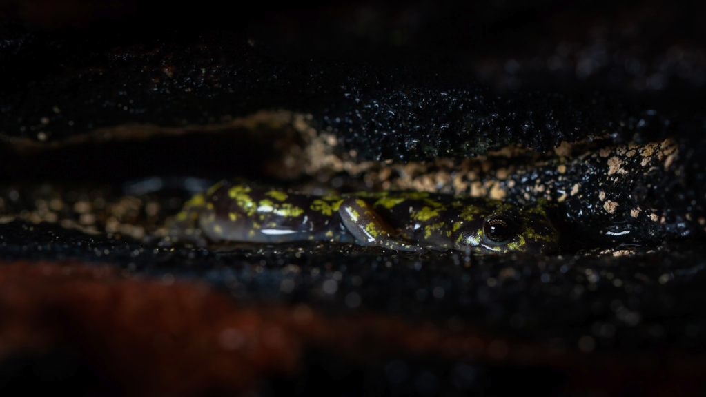 A salamander, black with green spots, looks at the camera from the crevice of a rock wall.
