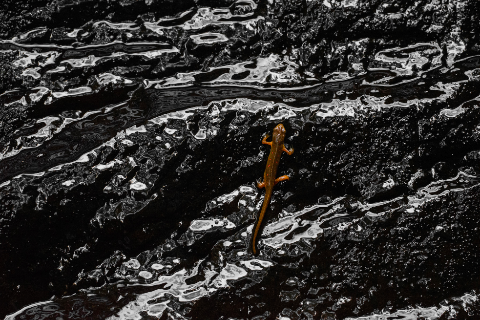 An orange-spotted newt climbs up the rocks of a small waterfall.