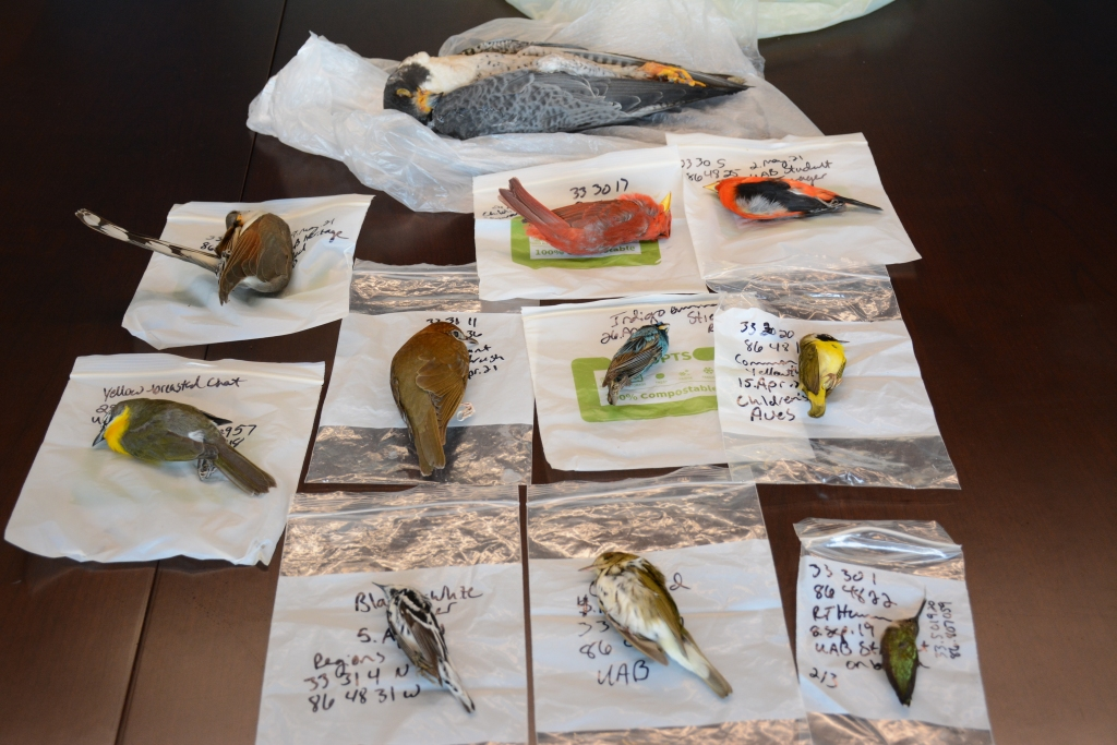 Eleven bird specimens, of different species including hummingbirds, cardinals, other songbirds and a peregrine falcon, are displayed on a table.