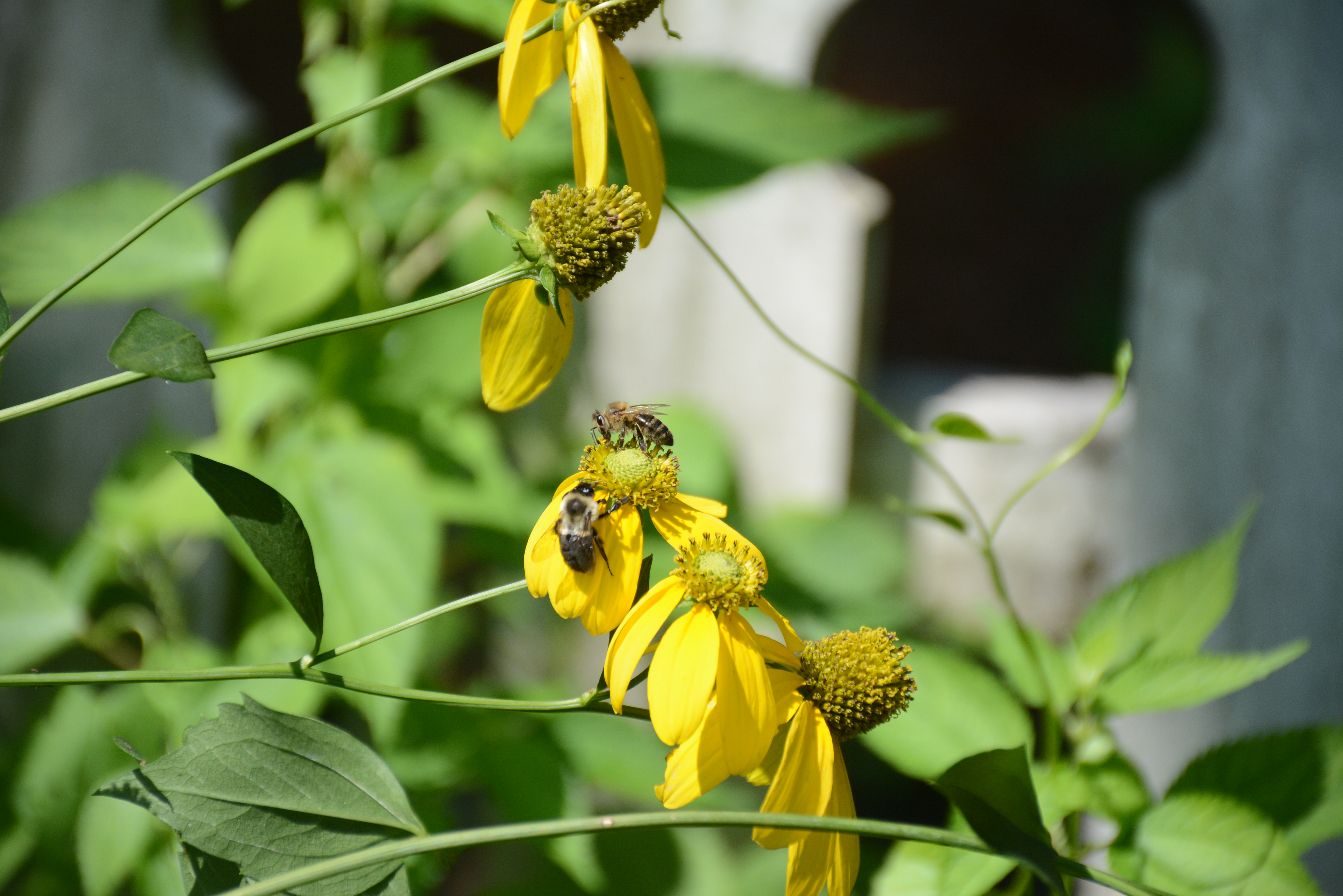 A closeup of several yellow flowers. A honeybee and a native bumblebee have landed on one of the flowers.