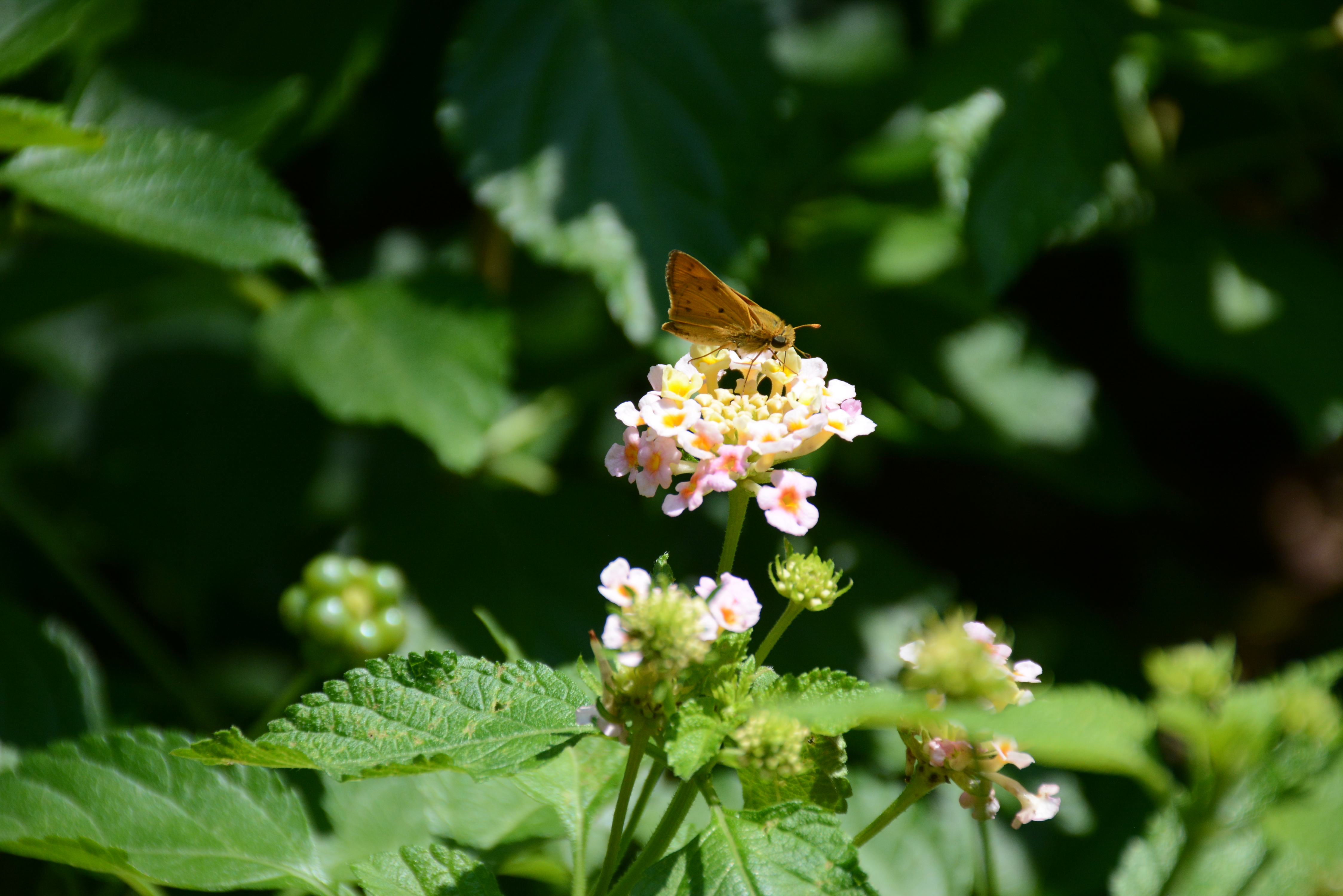 A small brown and orange butterfly sits on a cluster of tiny white flowers.
