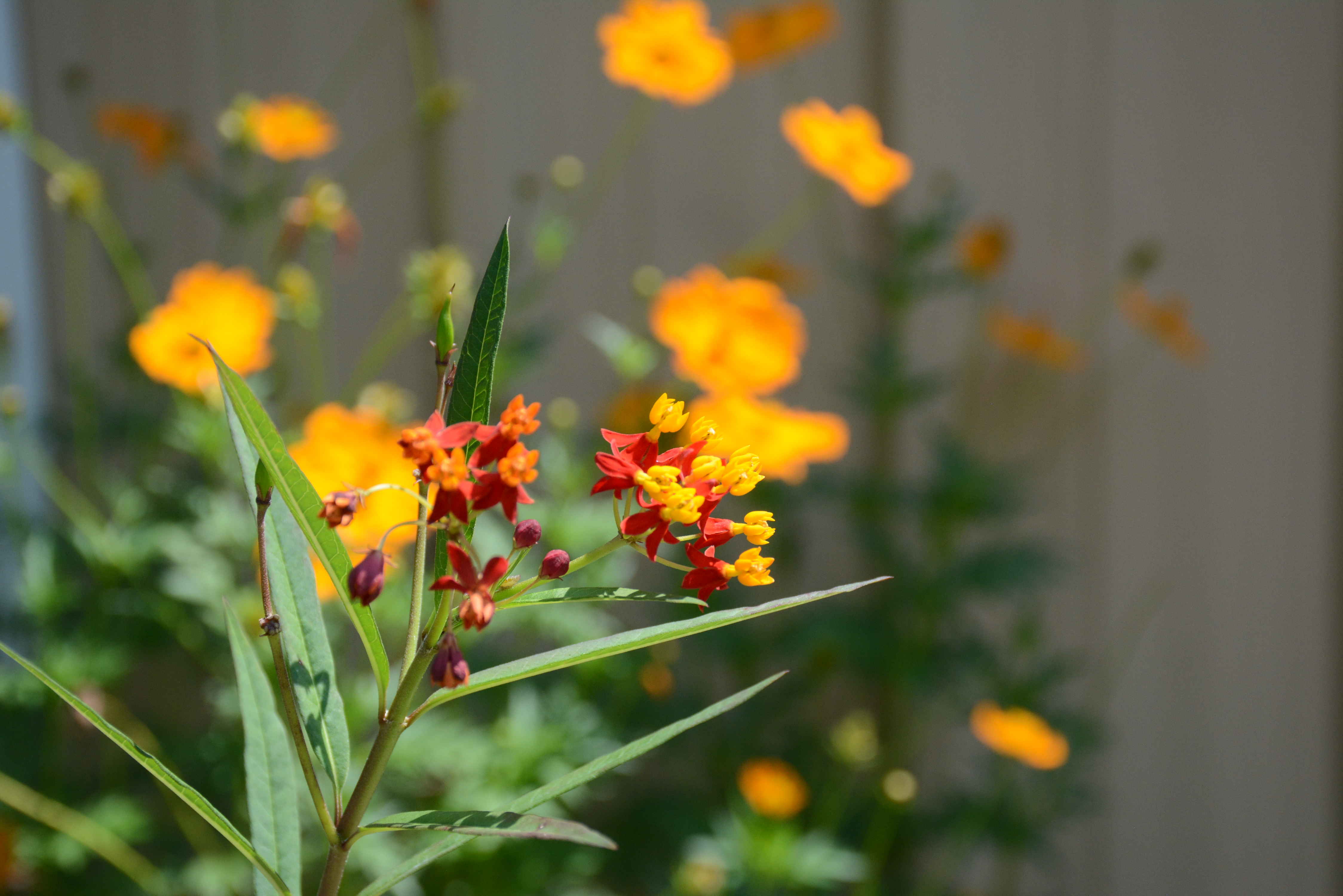 A closeup of tropical milkweed, which has bright red, orange, yellow and purple blooms. Another species of yellow flower is visible in the background.