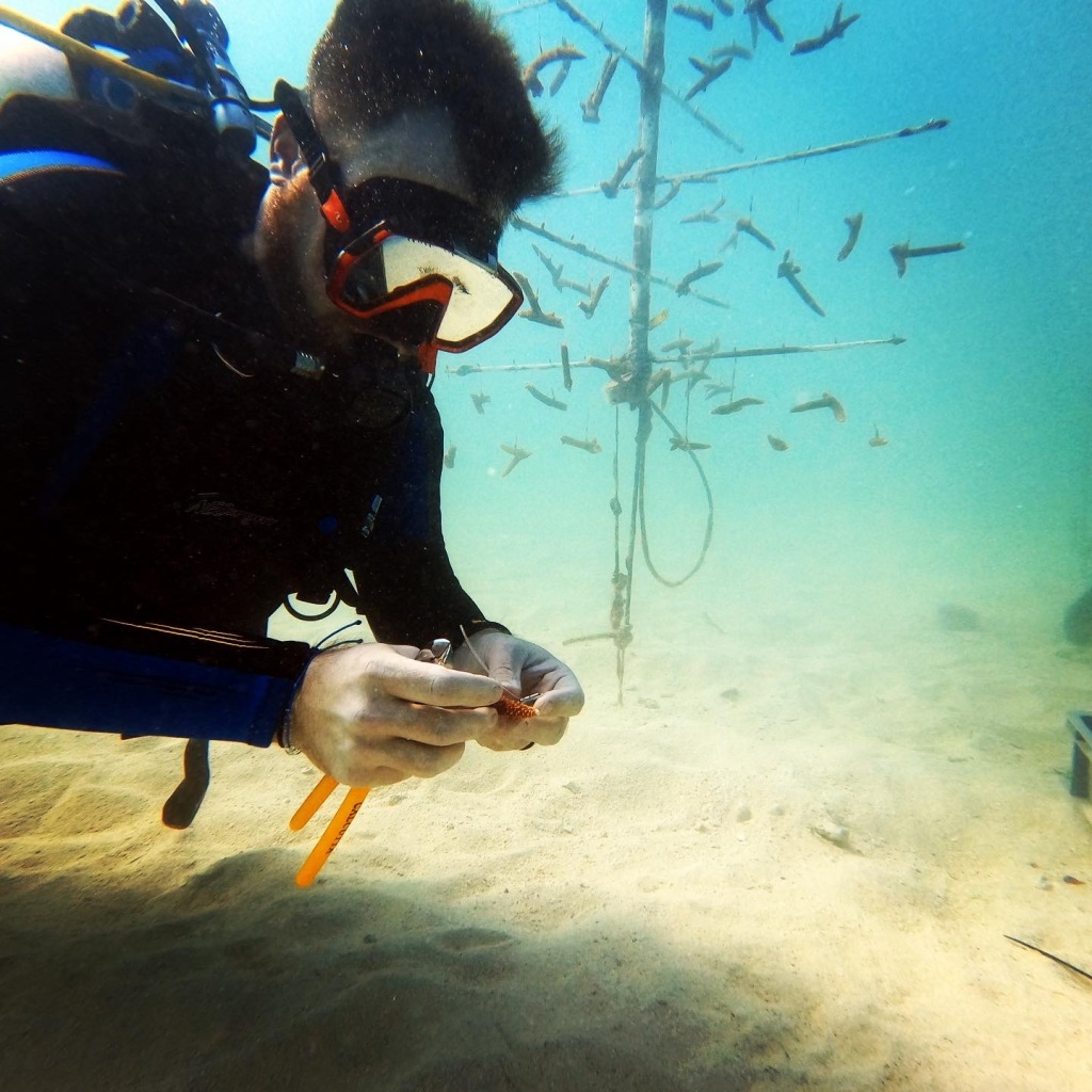 Jesse Daniels scuba dives, holding a piece of young coral. One of the coral nurseries can be seen in the background, with small pieces of coral hanging from a series of poles.