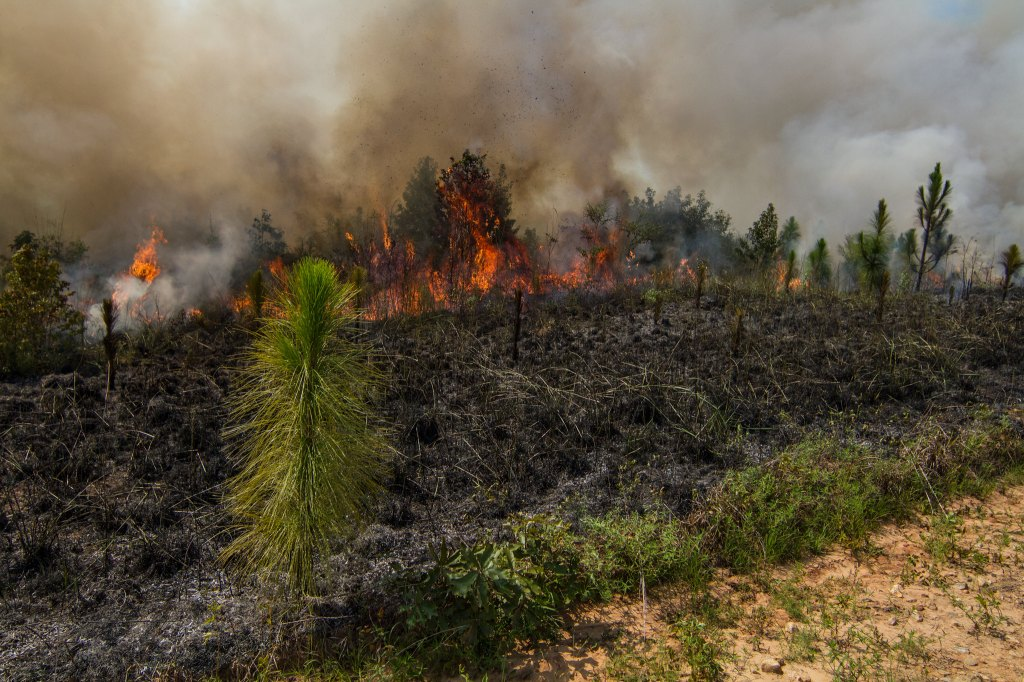 In the background, burning trees and a heavy smoke cloud can be seen. In front of the burning trees is a charred area where the controlled burn has already passed. In the foreground is a green area that was not part of the controlled burn, where plants are still living.